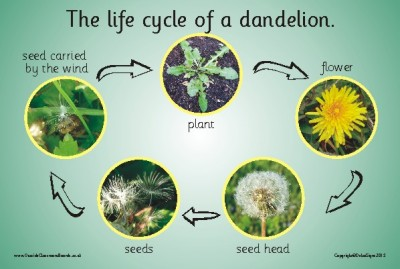 The Life Cycle Of A Dandelion (Photographic) | Nature & Science ...